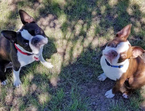 The Story of Ernie, Boston Terrier – Bitten by a Rattlesnake!