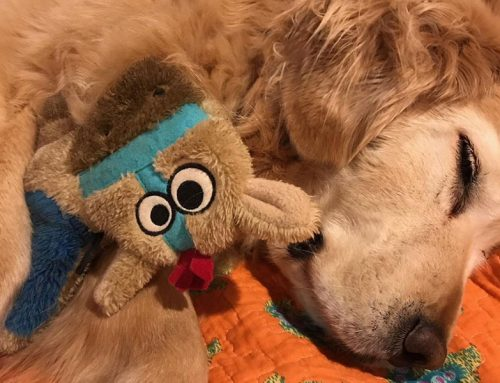 The Story of Maggie, a 9-Year-Old, Spayed Female Golden Retriever